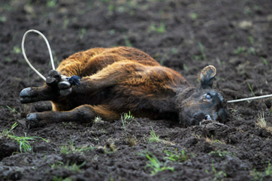 stop-the-rodeo-cruelty-photo-6