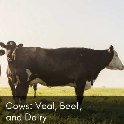 Cows: Veal, Beef, and Dairy